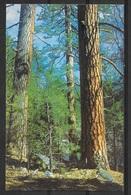 Ponderosa Pine, Unused - Trees