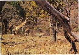 Giraffe In The Kruger National Park - Kameelperde In Die Nasionale Krugerwildtuin - (Suid-Afrika - South Africa) - Zuid-Afrika