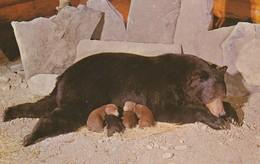 Luxton Museum, Banff, Alberta Ursus Americanus - Black Bear - Sow With 4 Cubs. - Banff