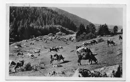 (RECTO / VERSO) LE HAUT JURA EN 1949 - LES PATURAGES AVEC VACHES - FORMAT CPA VOYAGEE - France