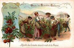 CHROMO  DANS LES GRANDES CULTURES  LA TOMATE RECOLTE DE TOMATES DANS LE MIDI DE LA FRANCE - Trade Cards