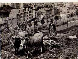 Il Etait Une Fois L'AUVERGNE Et Les Cevennes La Vie Agricole D'autrefois Le Hersage Avec Attelage De Vaches, - Auvergne