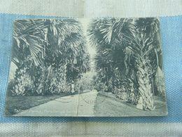 Talipot Palms Peradeniya Gardens Ceylon Sri Lanka - Sri Lanka (Ceylon)