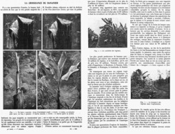 LA CROISSANCE DU BANANIER  1913 - F. Trees & Shrub