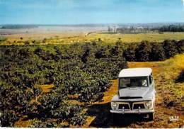 BRASIL Brazil Brésil - CAMPINAS : Plantation De Caféiers / Coffee Plantation - CPSM CPM - Brésil