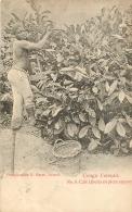 CONGO FRANCAIS CAFE LIBERIA EN PLEIN RAPPORT - Congo Français - Autres