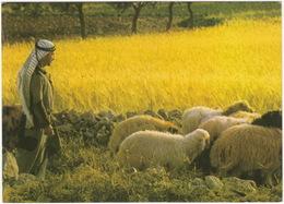 Bethleem - Champs Des Bergers - Bethlehem - Shepherd's Field - (Israel) - Israël