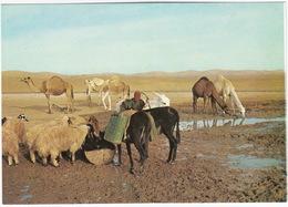 Judean Desert: Sheep, Donkey's, Camels - Near The Well In The Desert - (Israel) - Israël