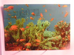 Elat - Mer Rouge - Poissons, Vue Sous Marine - Israel
