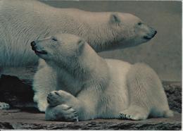 Zoologischer Garten Zürich - Eisbären, Ours Blancs, Polar Bears - ZH Zurich