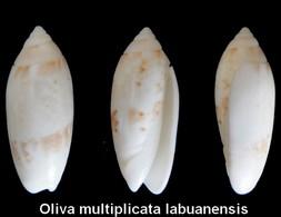 Oliva Multiplicata Labuanensis - Seashells & Snail-shells