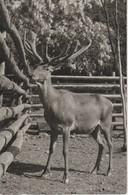 (AN289) MOOSE, ALCE, ELAN - Animales