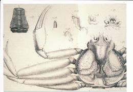 Otto Fabricius Drawing 1788 / The Large Crab Postcard - 1993 Unused - Groenlandia