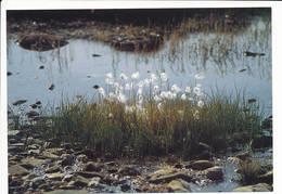 Ukaliusaq Kæruld Eriophorum Arctic Flowers Plant Postcard - 1989 Unused - Greenland