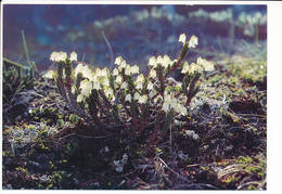 Issutit Kantlyng Heather Cassiope Tetragona Arctic Flowers Plant Postcard - 1990 Unused - Greenland