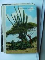 Aruba Cactus In Bloom N W I - Aruba