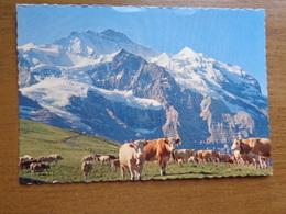 Suisse / Koe, Cow, Vache / Kleine Scheidegg Mit Jungfrau --> Unwritten - BE Berne