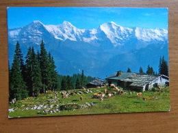 Suisse / Koe, Cow, Vache / Kuhmatte Ob Beatenberg --> Written - BE Berne