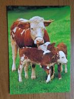 Koe, Vache, Cow / Kaart Van Hallmark --> Unwritten - Vaches