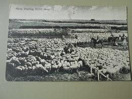 NOUVELLE ZELANDE SHEEP DRAFTING 20000 SHEEP - Nouvelle-Zélande