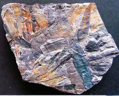 Fossiles Plante Du Carbonifère Carboniferous Plant Cordaïtes Principalis Départ 1 €  !!!!! - Fossielen