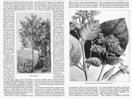 LA CULTURE DU QUINQUINA Dans Les INDES  1878 - F. Arbres & Arbustes