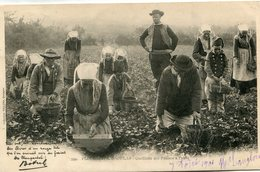 FRAISE(BRETAGNE) PLOUGASTEL - Agriculture