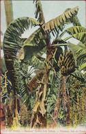 Cuba Los Indios Platanal Isla De Pinos Banana Grove Plantation Plantage Colonial Period Rare Old Postcard Tarjeta Postal - Cuba