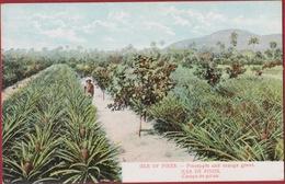 Cuba Isla De Pinos Campesino Pineapple And Orange Grove Plantation Colonial Period Rare Old Postcard Tarjeta Postal - Cuba