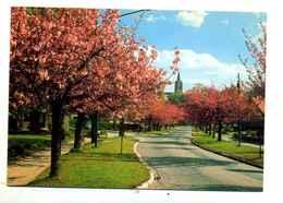 Boisfort : Cerisiers - Watermael-Boitsfort - Watermaal-Bosvoorde