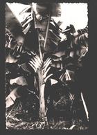 Végétation Africaine - Jeune Bananier / Bananeboom - Cartes Postales