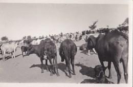 Lot De 5 Cartes Photo Afrique Non Localisées Mais à Priori RCA    Chameaux  élevage - Central African Republic