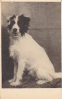AQ88 Animals - Sheepdog - Cani