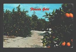 Florida's Gold - On Orange Grove In The Citrus Belt - 1976 - Etats-Unis