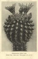 Cactus Cactaceae, Echinocactus Odieri Lem. (1920s) Otto Stoye Postcard - Cactus