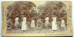 LABORERS ON A BANANA PLANTATION - CUBA - Stereo-Photographie