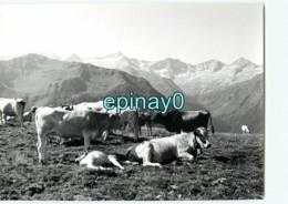 31 - LUCHON - Vache - Vaches -  Plateau De Superbanieres Et Chaine Frontaliére - PHOTOGRAPHE ROBERT PETIT - ATLAS-PHOTO - Lieux