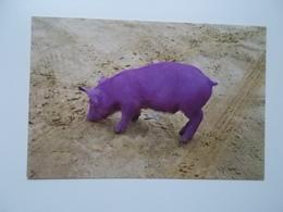 PURPLE PIG , Gekleurd Varken - Cochons