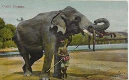 AK 0067  Ceylon Elephant Um 1910-20 - Elefanten