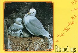 Iceland/Islande/Ijsland/Island Postcard Bird Kittiwake Unused - Iceland
