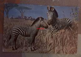 Zebra By Wilh. Kuhnert - Zèbres