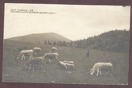 Borne Pâturage Sur La Plaine De Bauzon  Vaches Moutons * ARDECHE 07590  * Haut Vivarais Vache Mouton  Année 1915 - Frankreich