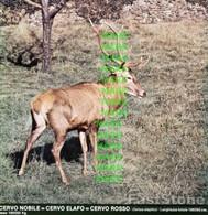 Fotografia CERVO Mammiferi Cacciabili Della Puglia Con SCHEDA ILLUSTRATIVA (195x195mm) - PERFETTA - Altre Collezioni