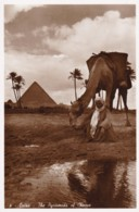 AP20 Cairo, The Pyramids Of Cheope, Camel And Rider - RPPC - Pyramids