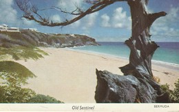 The Gnarled And Old Cedar Stands Like An Old Sentinel Guarding The West Beach In Tucker's Town, Bermuda - Bermuda