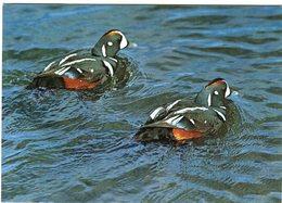 Iceland/Islande/Ijsland/Island Postcard Bird Colorful Harlequin Duck Unused - Iceland