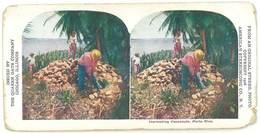 Photo Stéréoscopique : Porto Rico - Harvesting Cocoanuts - Photos Stéréoscopiques