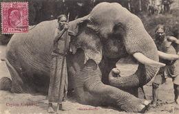 Ceylon Elephant - Sri Lanka (Ceylon)