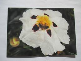 Balade Du Côté Des Pollens Abeille Récolte Pollen Fleur Ciste Blanche - Insectes