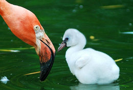 T89-67 ]  Flamingo Birds ,  Prestamped Card - Flamingo
